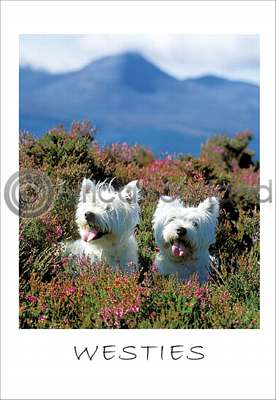 Pack of 10 West Highland White Terrier Postcards